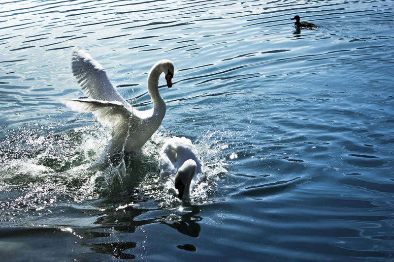 how to purge toxic people from your life swans fighting